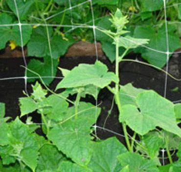 Вирощування огірків в плівковій теплиці