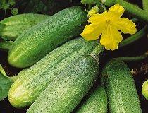Вирощування огірків в теплиці і відкритому грунті. Основні моменти