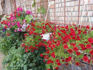 Вирощування прекрасного лилейника в саду