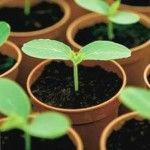 Вирощування розсади гарбузових культур