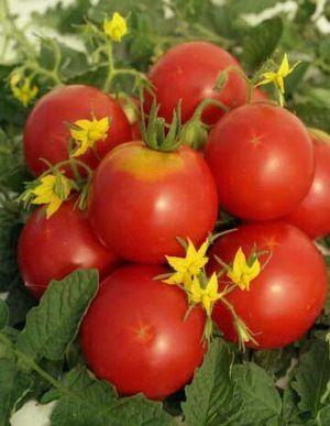 Вирощування томатів за проектом гном