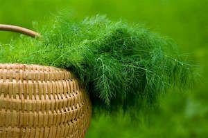 Вирощування кропу з насіння в домашніх умовах
