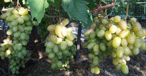 Вирощування винограду в підмосков`ї