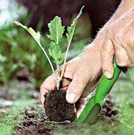 Висадка в грунт насіння. Вирощуємо розсаду