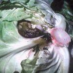 Захворювання і проблеми капусти